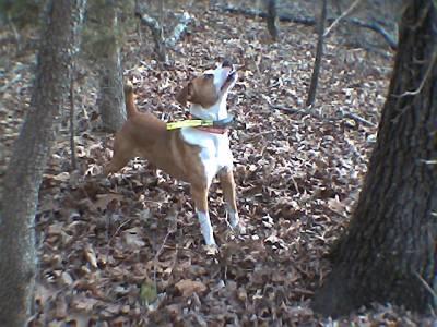 Feist Squirrel Dog Kennels In Mississippi
